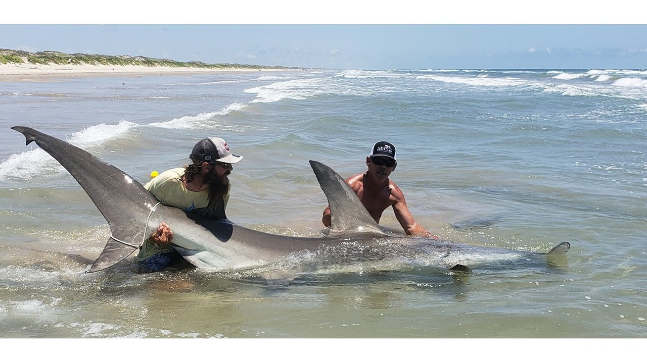 Hammerhead shark caught on padre island national seashore for Padre island national seashore fishing report
